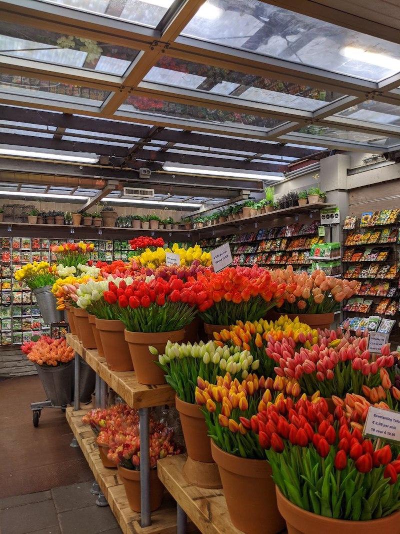 Amsterdam Tulip